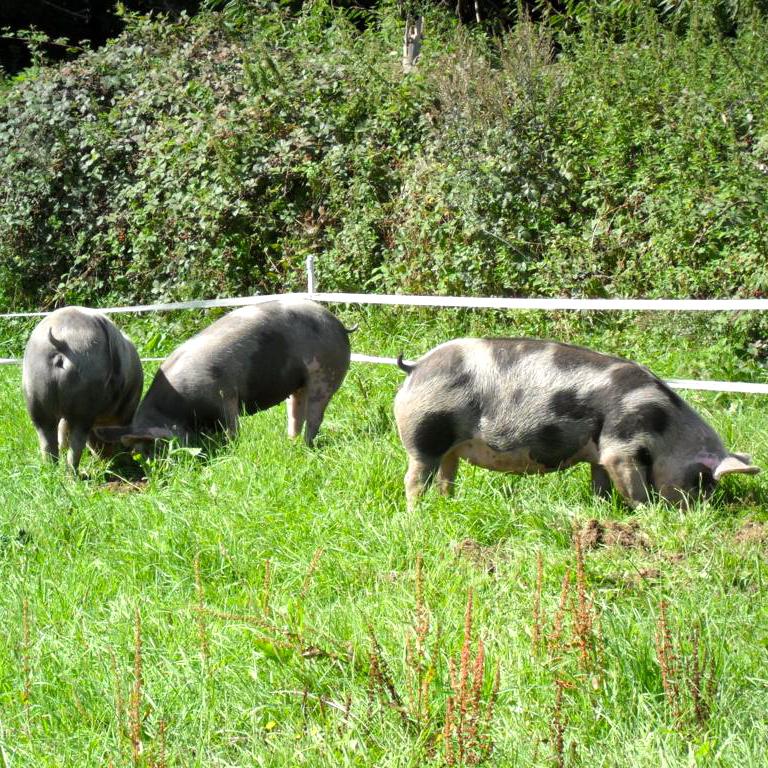 Freilandhof-Kaltenborn-Fleisch-artgerechte Haltung-Berlin-Schweine