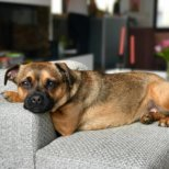 Hertha the dog relaxed auf dem Sofa