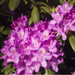 Rhododendronhain Tiergarten Berlin