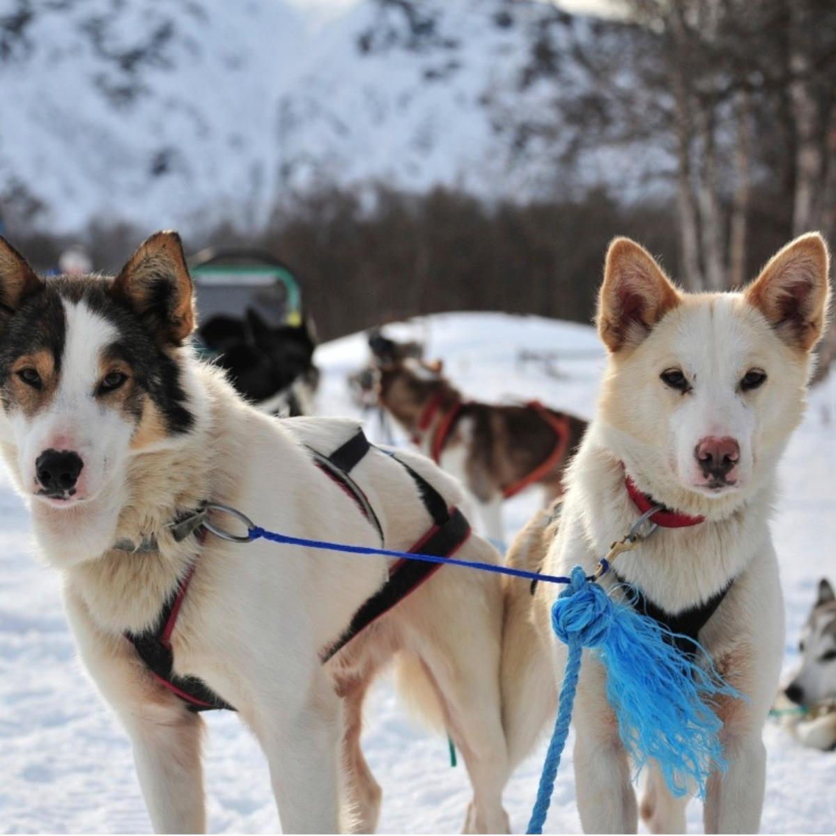 Lyngen Lodge Hundeschlitten