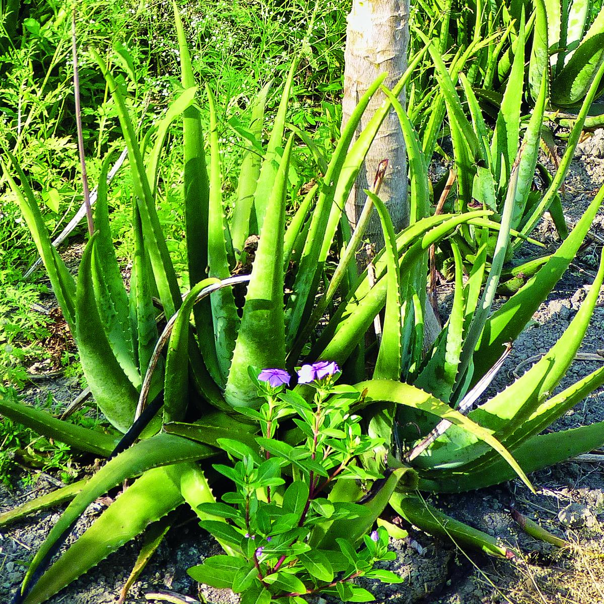Aloe Vera Mischkultur_Pharmos Natur