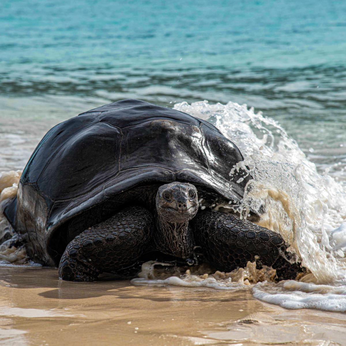 69-Tortue Aldabra, seychelles Studio Ponant-Servane Roy Berton