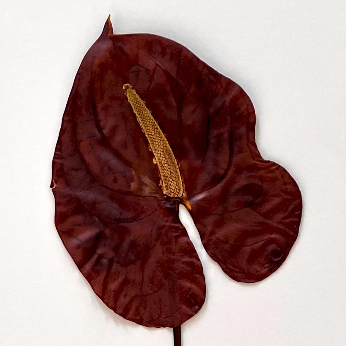 Sabrina Hoelzer Anthurium. Detail from framed plate 50 x70 cm