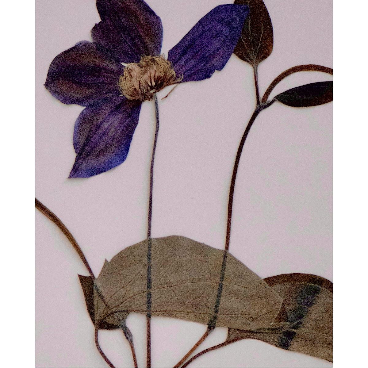 Sabrina Hoelzer Clematis. Detail from framed plate 40 x 50 cm