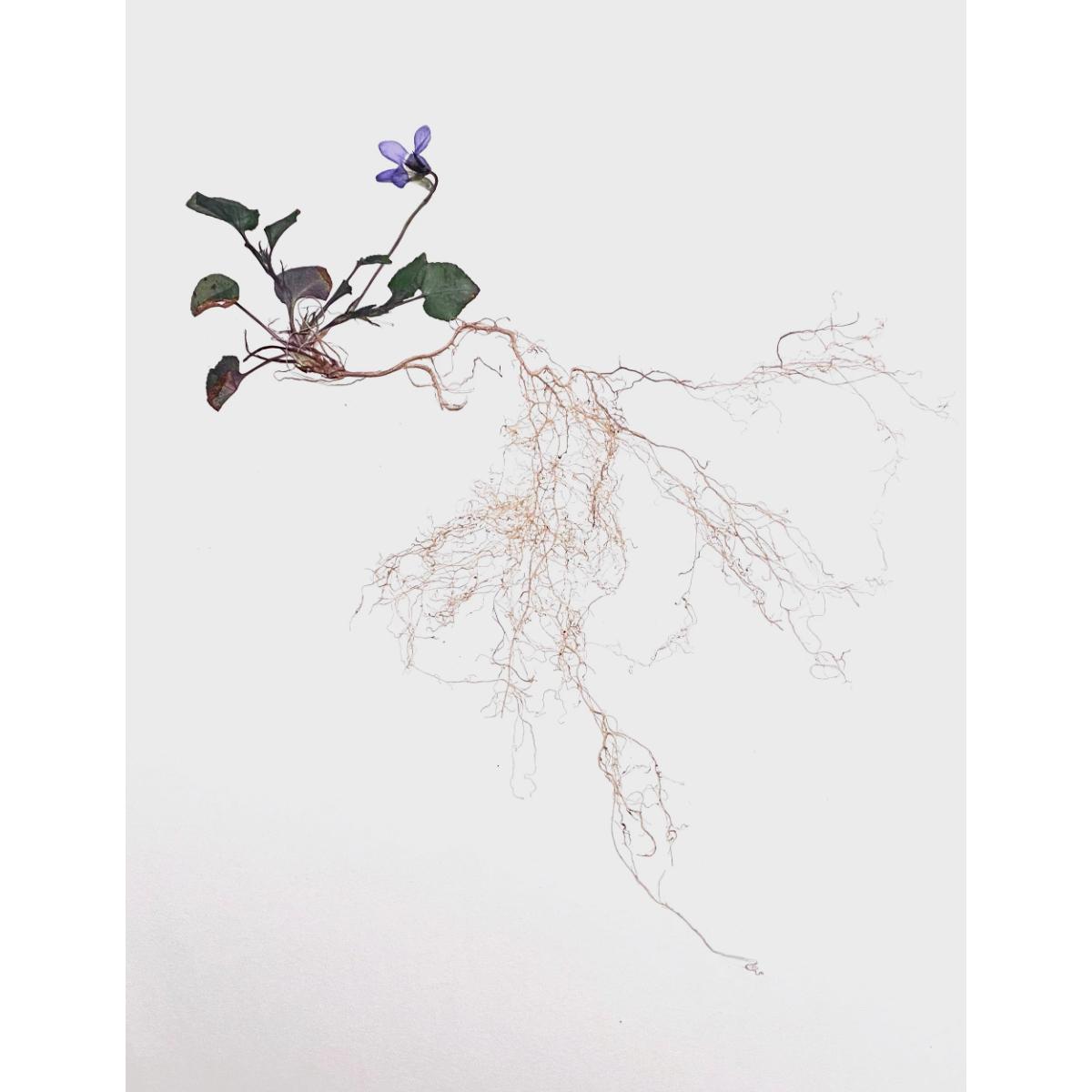 Sabrina Hoelzer Underneath. Early dog-violet. Unframed plate 29,6 x 42,1 cm